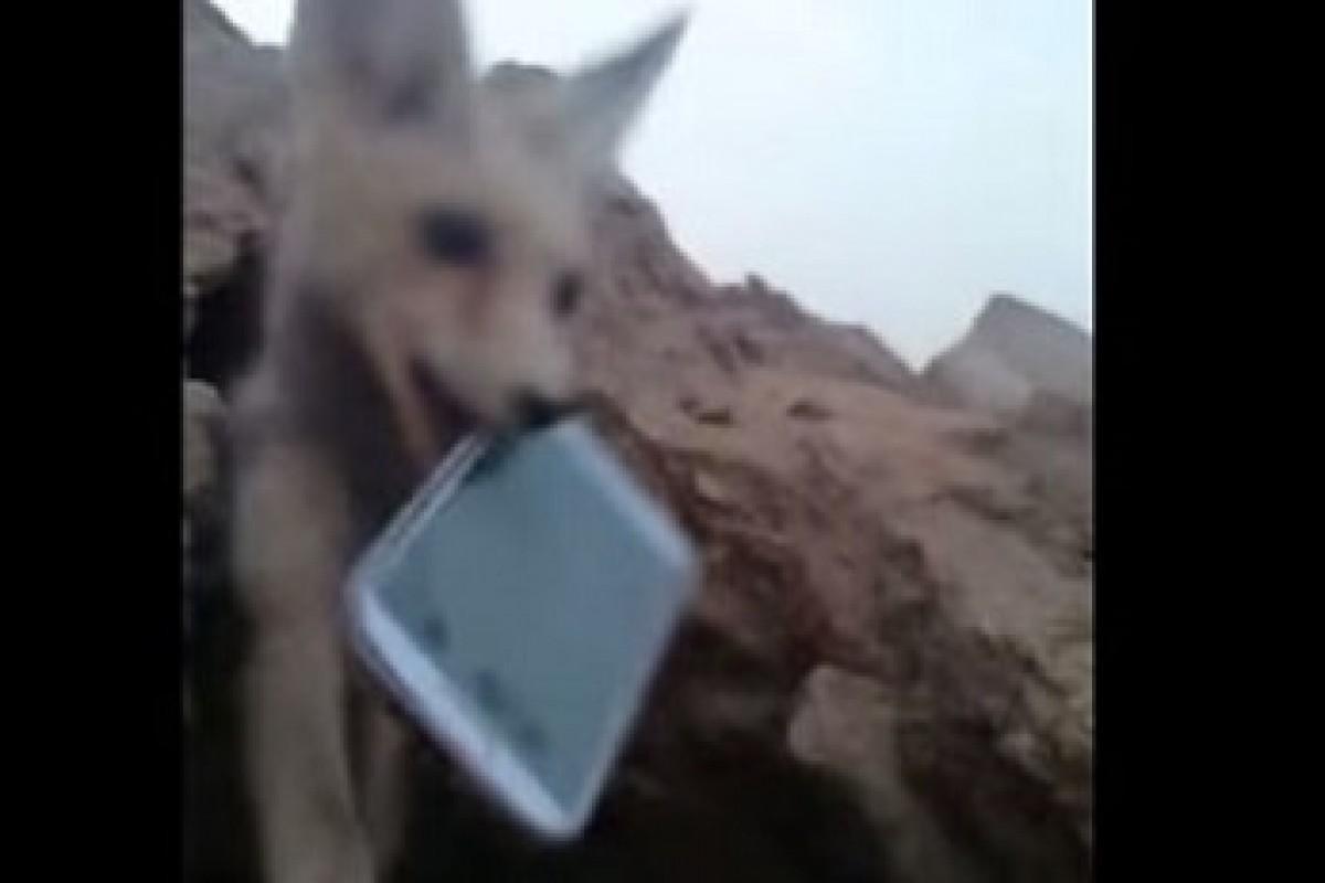 سرقت یک اسمارتفون توسط روباه (با ویدئو)