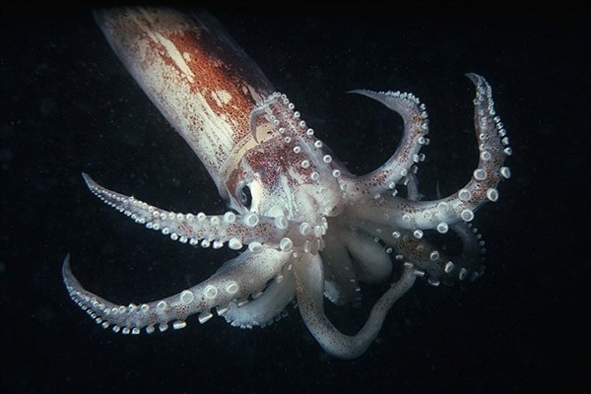 محقین توانستند به کمک ماهی مرکب مادهای خودترمیم بسازند!