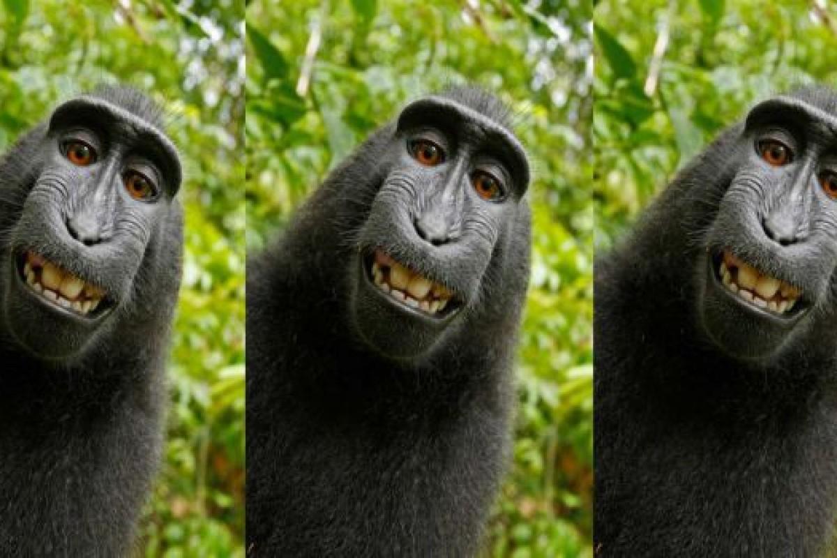 عکس سلفی این میمون نتوانست کپیرایت بگیرد