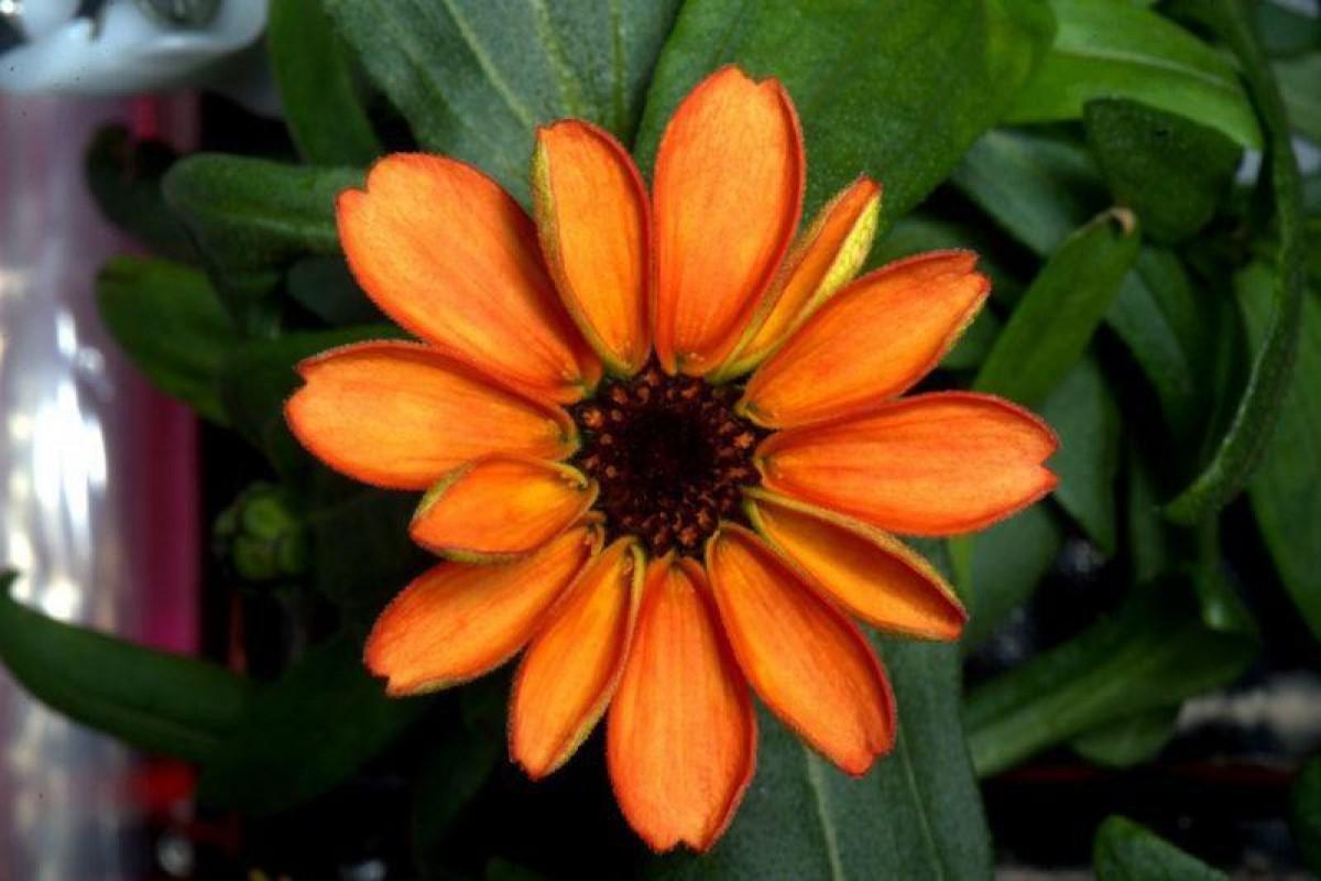 اولین گل فضایی در ایستگاه بین المللی رشد کرد