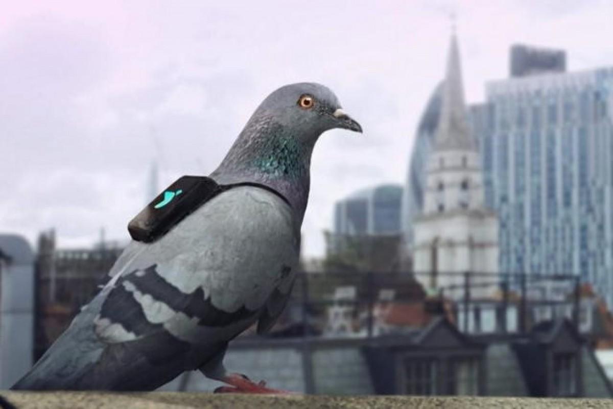 استفاده از کبوترها برای مطالعه کیفیت و آلودگی هوا!