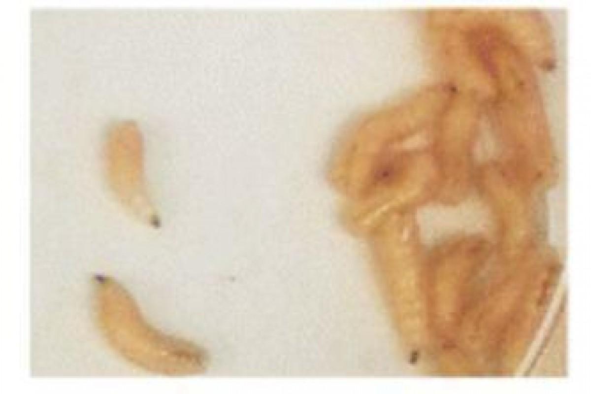 کرمهای حشره به التیام زخمهای بدن کمک میکنند