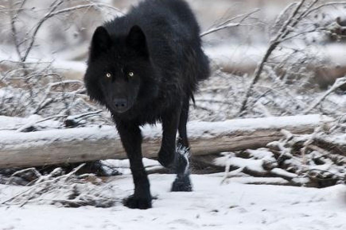 یک زن به همراه سگش ۱۲ ساعت در برابر حمله یک گرگ دوام آوردند!