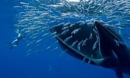 ثبت یک ویدئو فوقالعاده زیبا از غذا خوردن وال دریایی توسط یک پهپاد