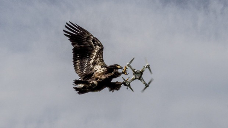 drone-fighting-eagles-take-down-the-uavs-in-midflight_image-2