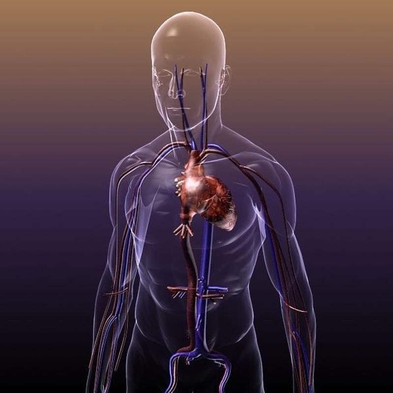 circulatory_system_anatomy_in_a_human_body_3d_model_max_obj_3ds_fbx_c4d_lwo_lw_lws_72ec7aab-66c3-4f9c-9c87-60647f629b44