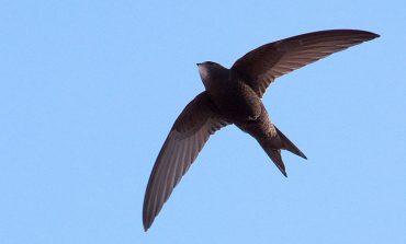 Swift نام پرندهای که قادر است ۱۰ماه بدون توقف پرواز کند!