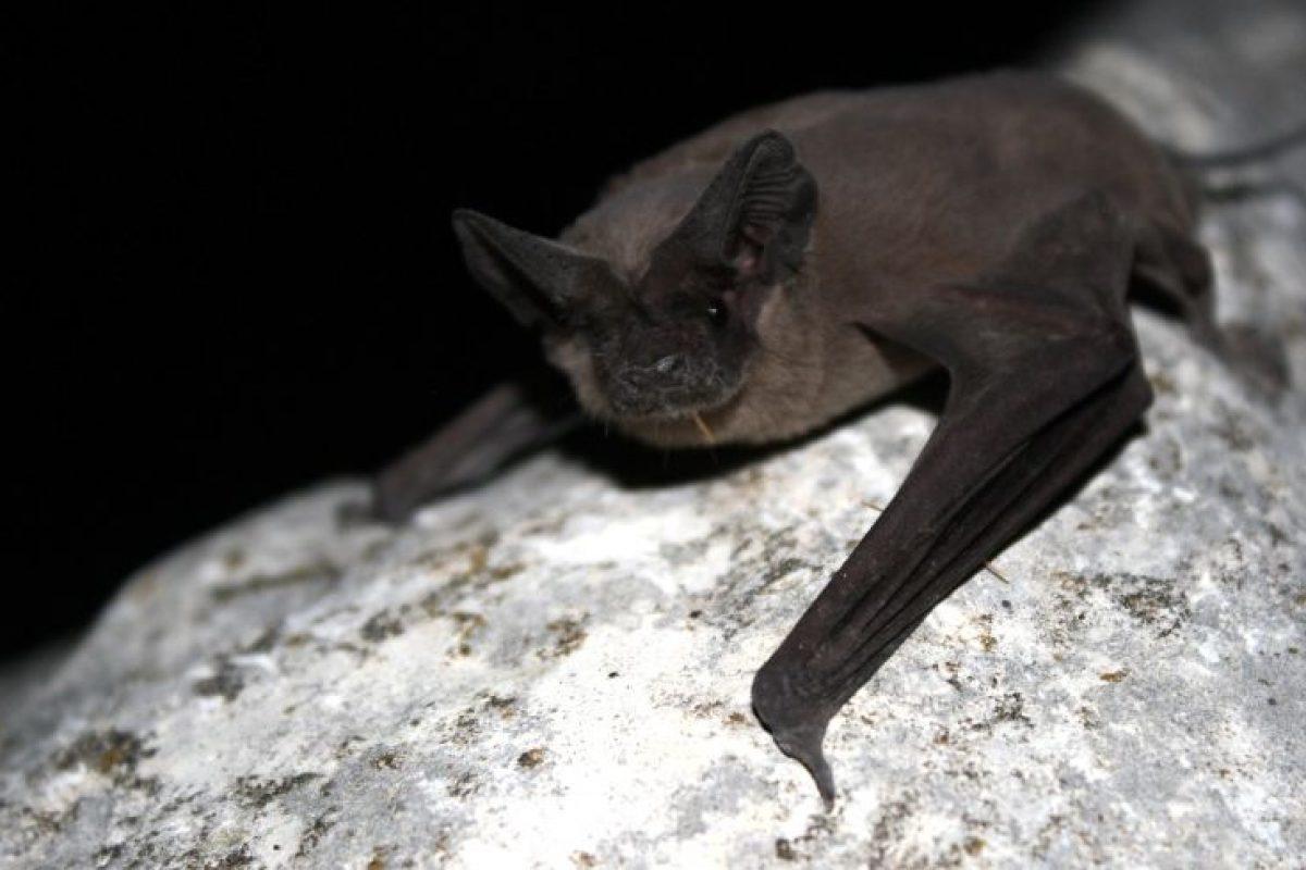 این خفاش میتواند با سرعتی بیش از ۱۶۰ کیلومتر در ساعت پرواز کند!