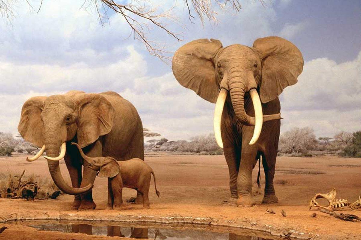 حافظه فیلها تا چه اندازه خوب است؟!