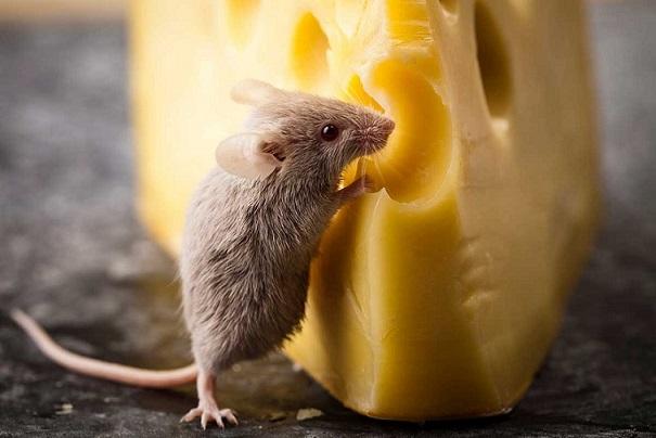 موشها پنیر دوست ندارند
