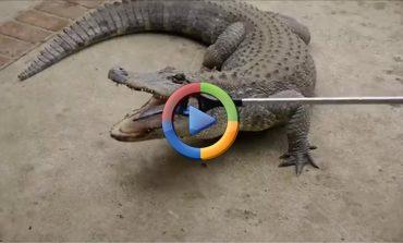 وقتی آیفون 7 اپل خوراک یک تمساح میشود! (ویدئو اختصاصی)
