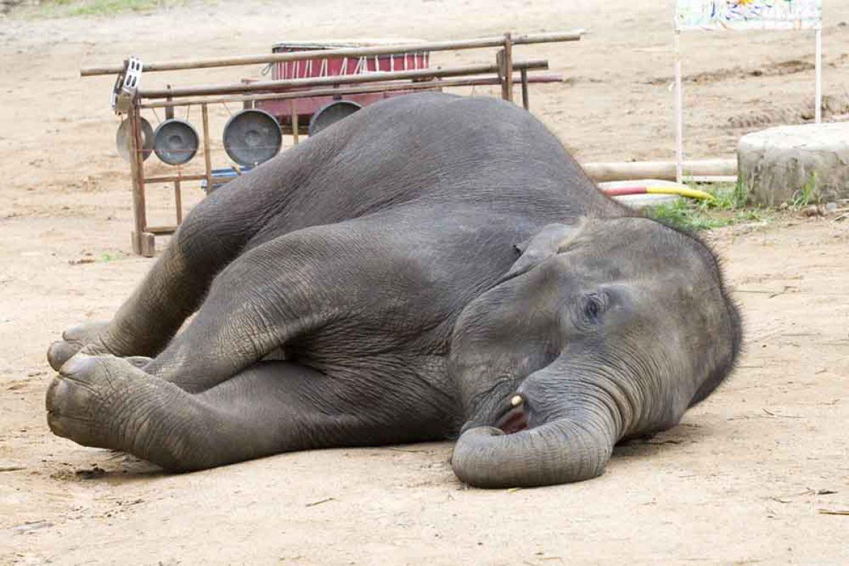 نکتهای شگفتانگیز از ردیابی الگوی خواب فیلها با استفاده از ساعتهای هوشمند
