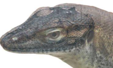 دانشمندان فسیل یک گونه سوسمار چهار چشم را کشف کردند